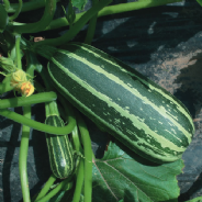 Marrow F1 Bush Baby Seeds